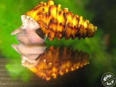 Pachymelania byronensis Gallery_3102_169_32924