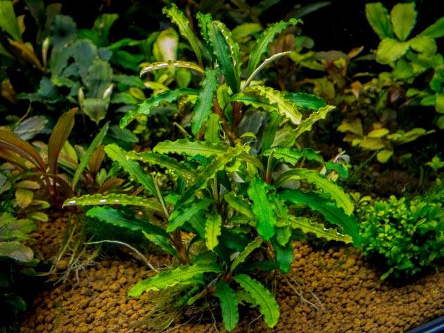 растения против паразитов