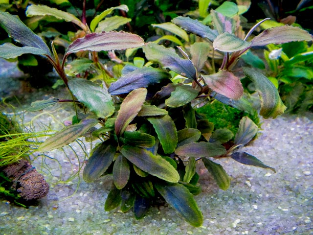 Картинки по запросу Bucephalandra sp. Lalina Green Blue