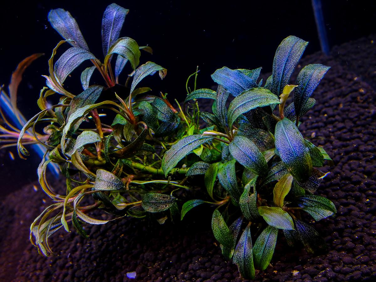 Картинки по запросу Bucephalandra sp. Gianmara