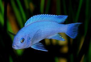 аквариумные рыбки цихлиды африканские фото с названиями #4