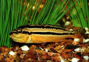 Виды аквариумных рыб.  Меланхромис золотой (Melanochromis auratus)