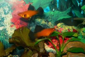 Рыбки пецилия виды содержание и уход