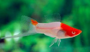Фото аквариумных рыб Каталог аквариумных рыб с фото