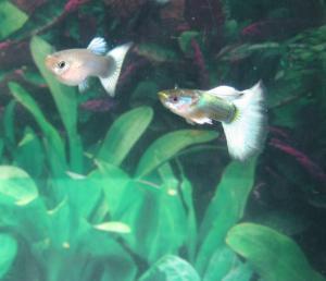Пецилии рыбки содержание размножениевиды фото и видео