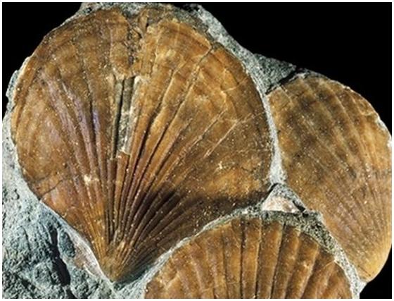 фото названия окаменелости моллюсков загородной
