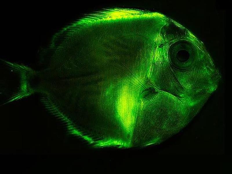 Свечение рыб