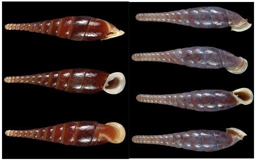 Левосторонние раковины моллюсков редки из-за океанических течений