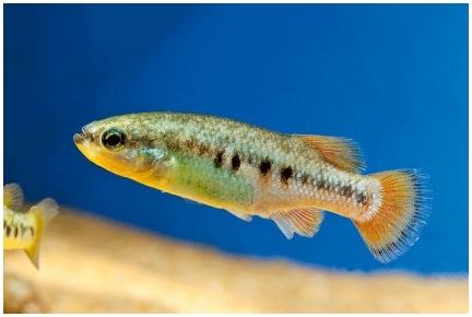Замораживание клеток лягушек поможет спасти исчезающие виды рыб