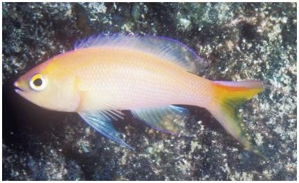 Обнаружено два новых вида Pseudanthias
