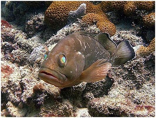 У рифовых окуней обнаружены созидательные способности