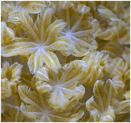 Почему мягкие кораллы пульсируют?