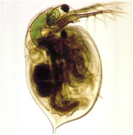 the anatomy of ceriodaphnia