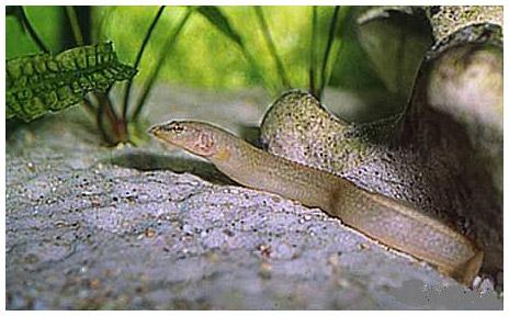 Новый колючий угорь найден в озере Танганьика