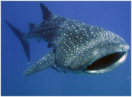 Китовые акулы знакомы с геометрией