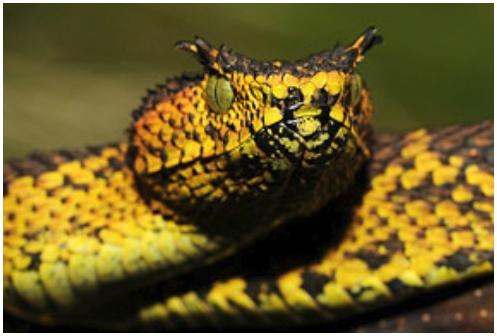 Рогатые гадюки – новый вид змей обнаружен в Танзании