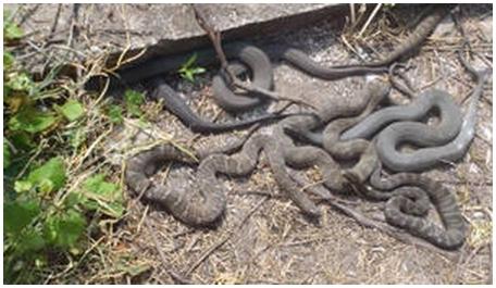 Изучены привычки околоводных змей