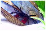 Пресноводным крабам грозит вымирание! News-S6mogW7en6-3222