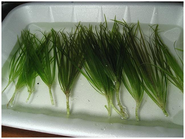 Как сажать аквариумные растения без корней 12