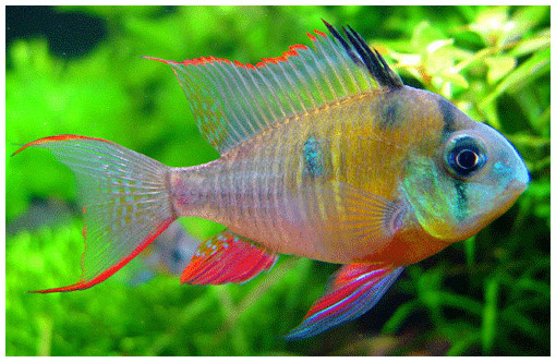 Картинки по запросу Microgeophagus altispinosa-фото