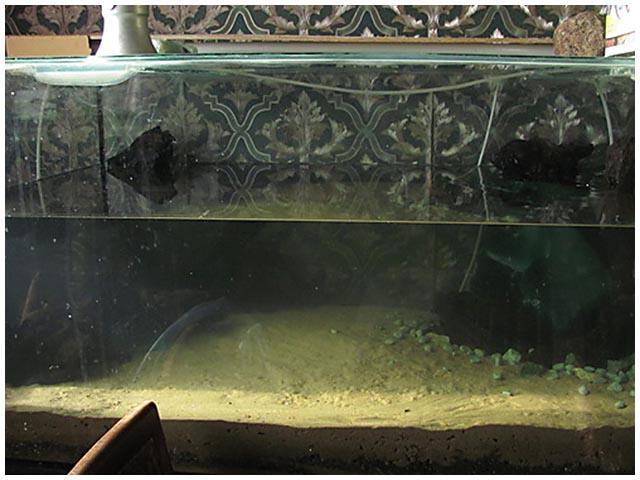 Холодноводный аквариум,Perccottus glenii,Lepomis megalotis ... промаяться