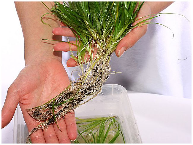Как сажать аквариумные растения без корней 94
