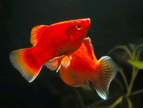 """3 Responses to  """"Неприхотливые аквариумные рыбки - лучший"""