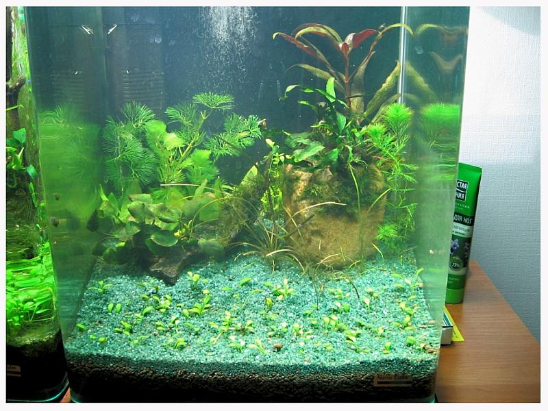 Растения лимонник как сажать в аквариуме 62