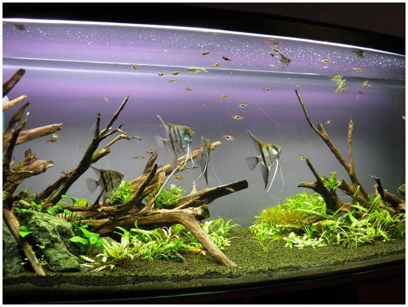 фото скалярии в аквариуме