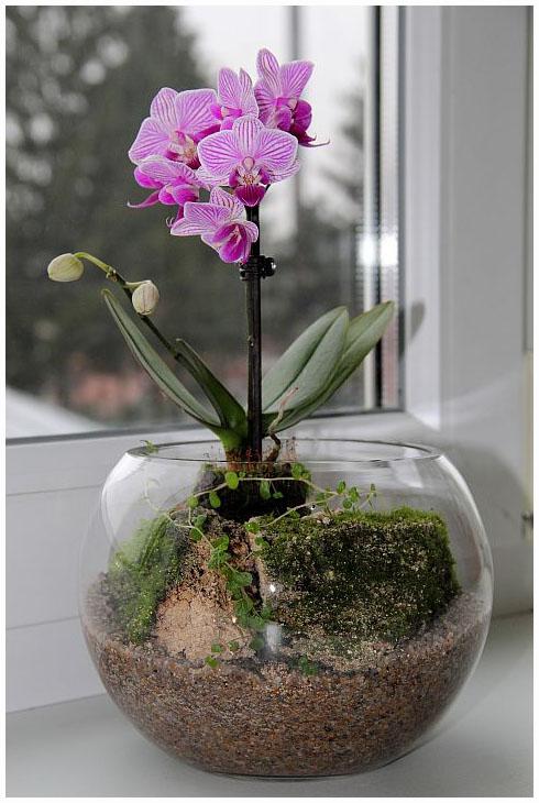 Цветок фаленопсис мини уход в домашних условиях - Belbera.Ru