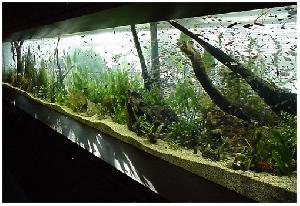 Наличие в аквариуме коряг из разнообразного дерева может быть весьма и весьма полезным.  Во-первых, они играют...
