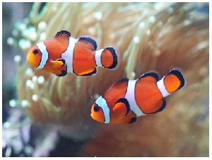 Фото 1. Клоуны просто идеальные рыбы для содержания в морских аквариумах.