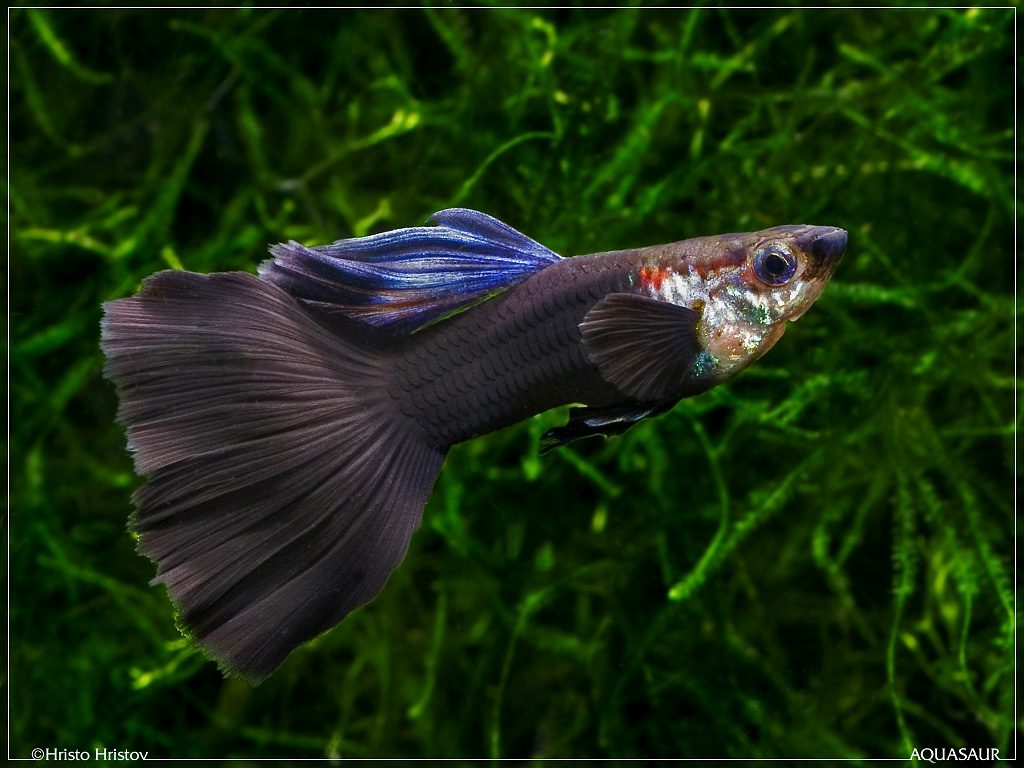 aquafanat.com.ua-guppy-black-prince - Мои фотографии - Фотоальбомы - Гуппи - содержание и разведение.