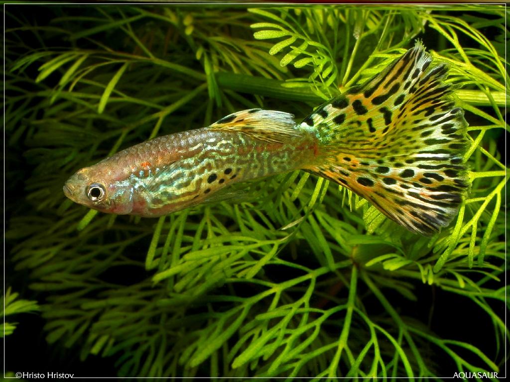 http://www.aquafanat.com.ua/uploads/photos/aquafanat.com.ua-guppy.jpg