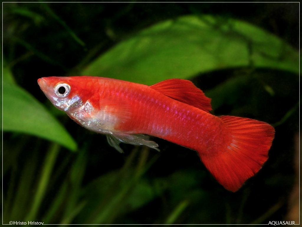 ������� <strong>��������</strong>, ����� (Poecilia reticulata) - ����� (Poecilia <strong>...</strong>