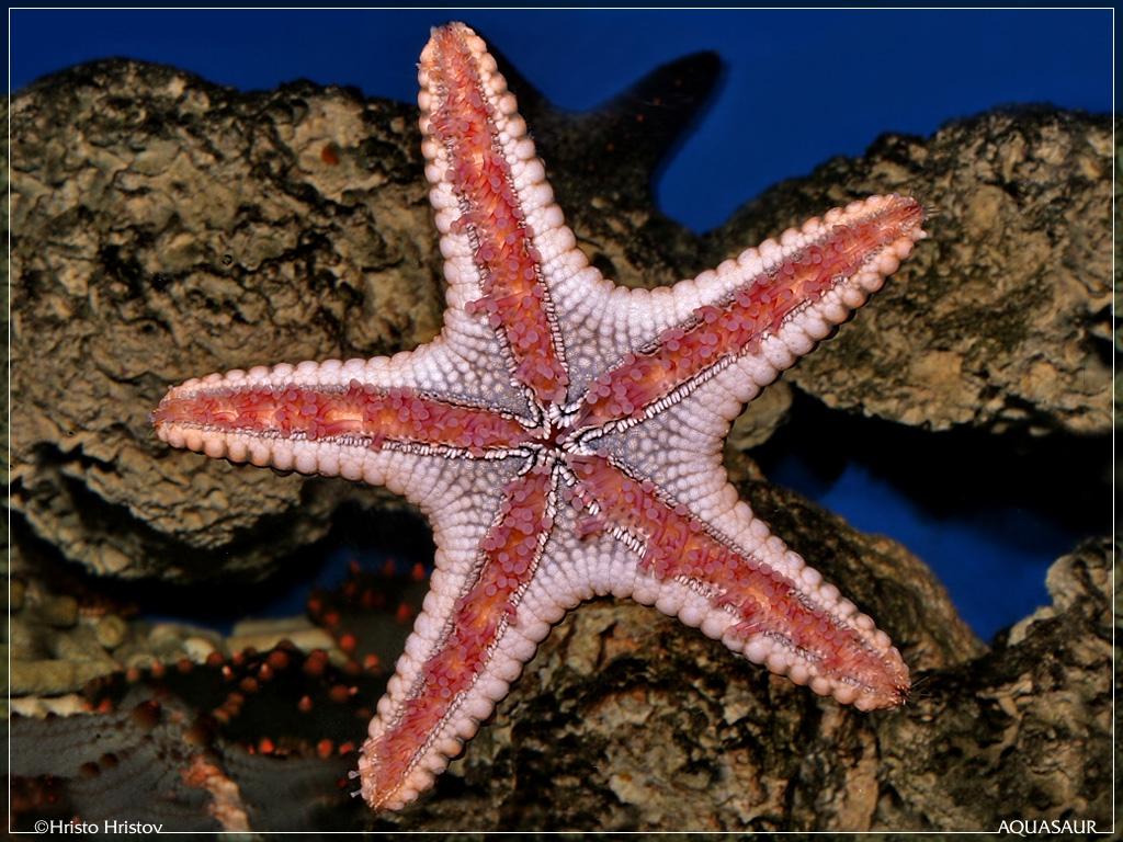 Красная Морская звезда (Asteroidea Protoreaster)