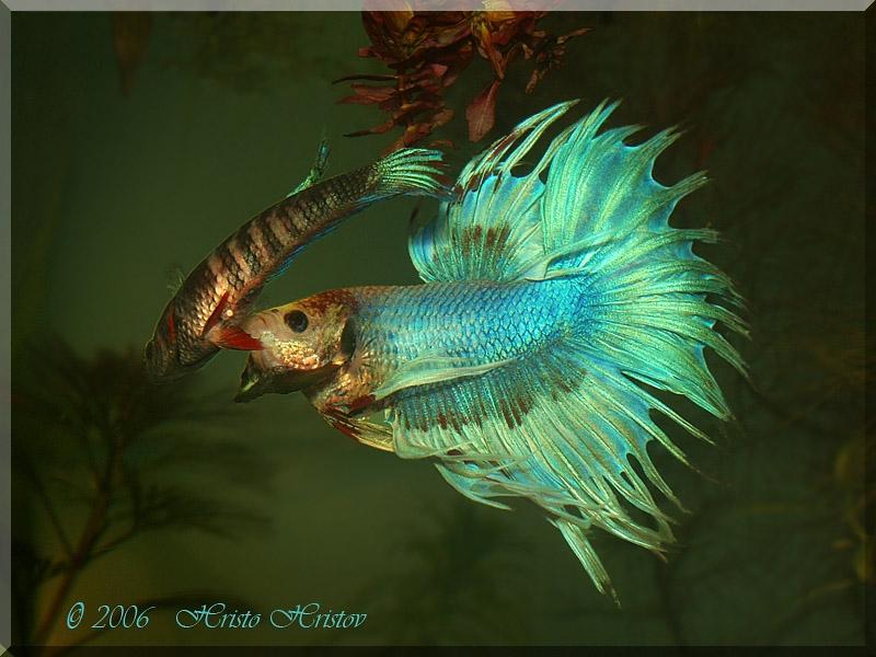 рыба петушок фото самка