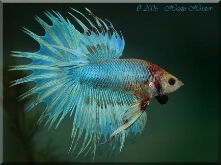 рыбки петушки фото самки
